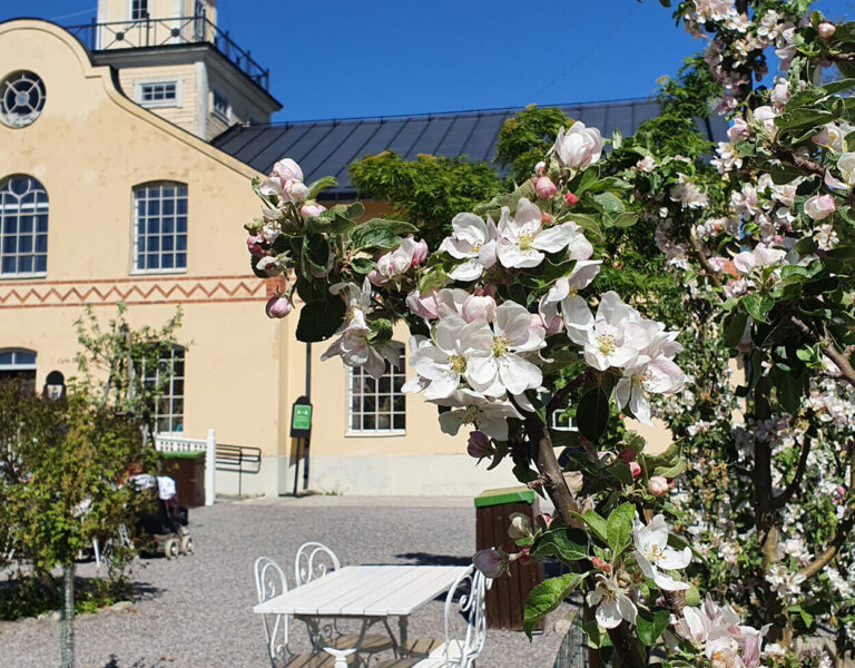 Äppelträd i blom på trädgårdscaféets uteservering, Café Anna Giertz