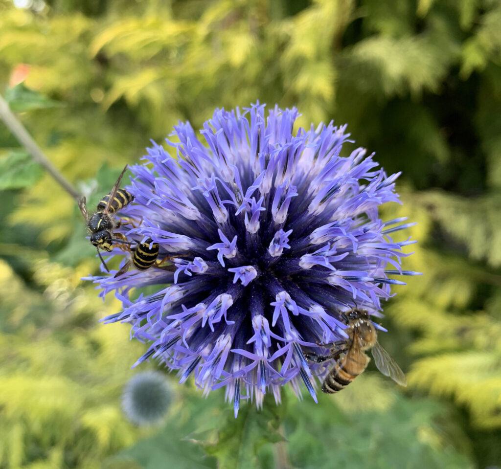 Bin och getingar sitter på den blåa blomman bolltistel