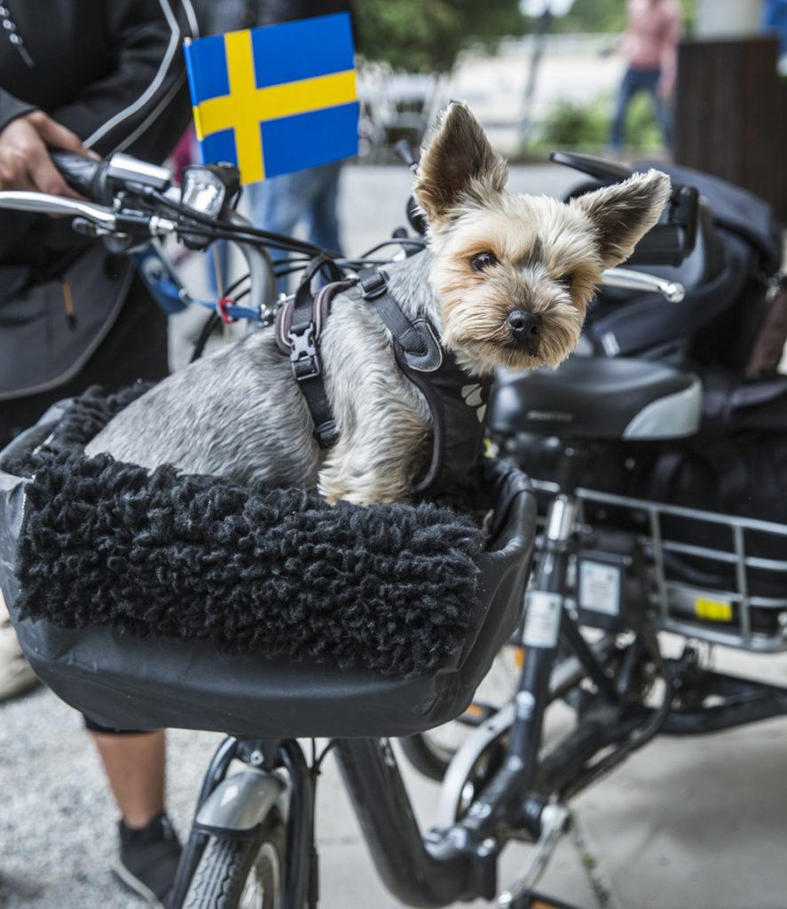 Liten grå hund sitter i cykelkorg med svenska flaggan intill sig
