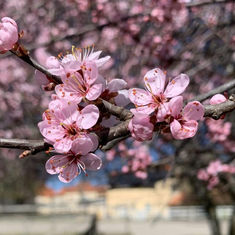 Rosa körsbärsblommor