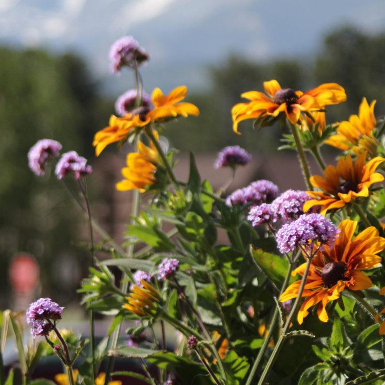 Vackra gula och lila blommor i förgrunden med suddig bakgrund