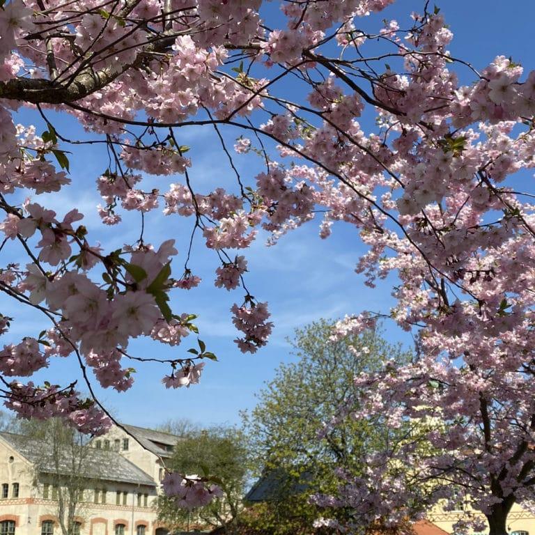 Blommande körsbärsträd med ljusgul stenlada i bakgrunden